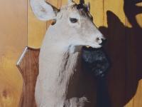 deer-mount-2