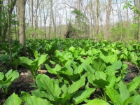 primitive-shelter-across-skunk-cabbage