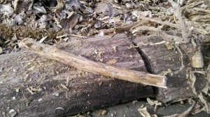Section of Mullein Stalk before Splitting into Hearth Board