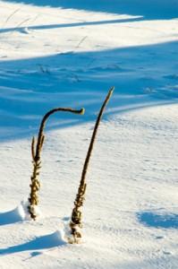 Mullein in Winter