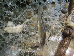 First minnow with Spider Web Fish Net