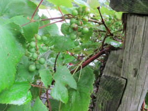 Grapes (not ripe yet)