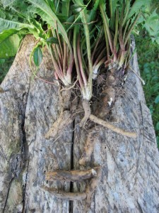 Dandelion Root on Wood Bench