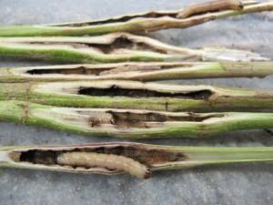 Ragweed larvae: Survival Fishing Bait