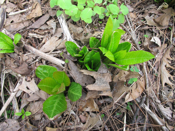 pokeweed-shoots
